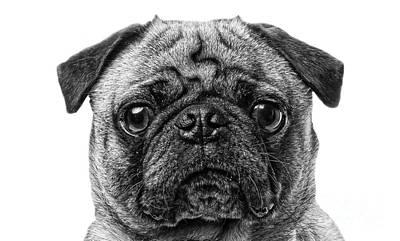 Animals Photos - Pug Dog black and white by Edward Fielding