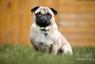 Id Tag Photograph - Pug In Garden by Johan De Meester