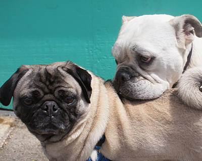 Photograph - Pug Love by DerekTXFactor Creative