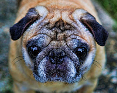 Photograph - Pug - Man's Best Friend by Lee Dos Santos
