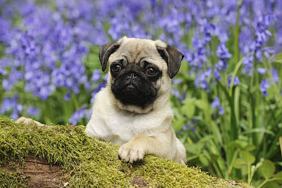 Photograph - Pug Puppy In Bluebells by John Daniels