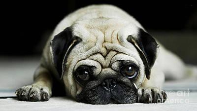 Pug Mixed Media - Pug Puppy  by Marvin Blaine
