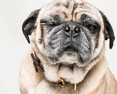 Funny Dog Photograph - Pug Winking In Color by Chad Latta