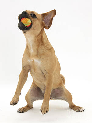 Puggle Photograph - Puggle Catching A Ball by Mark Taylor