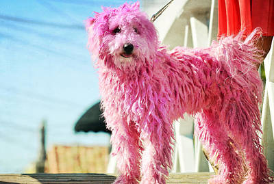 Photograph - Puli In Pink by Fraida Gutovich