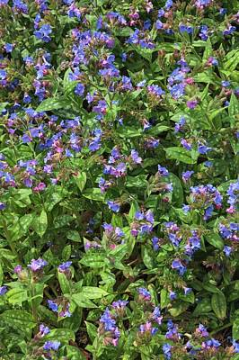 Early Spring Photograph - Pulmonaria Angustifolia 'lewis Palmer' by Geoff Kidd
