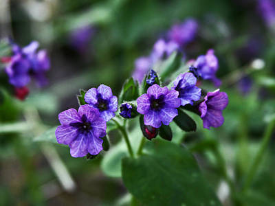 Photograph - Pulmonaria by Larry Capra