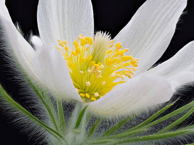 Photograph - Pulsatilla Alba by Paul Gulliver