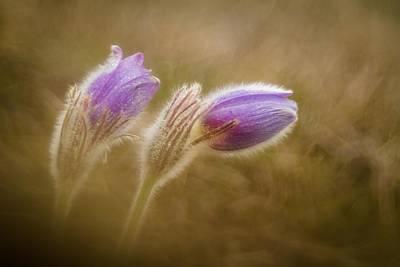 Macro Flower Photograph - Pulsatilla Pratensis by Photozo