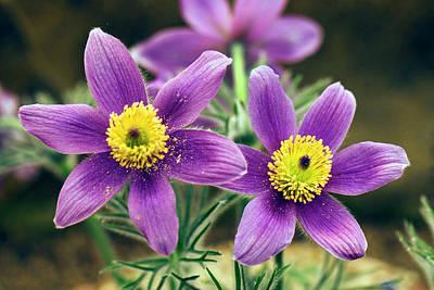 Pulsatilla Photograph - Pulsatilla Slavica Flowers by Adrian Thomas