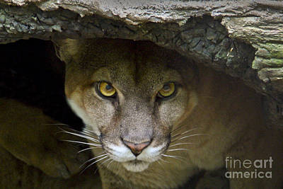 Puma Photograph - Puma by Bob Hislop