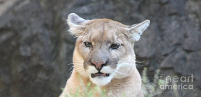 Photograph - Puma Head Shot by John Telfer