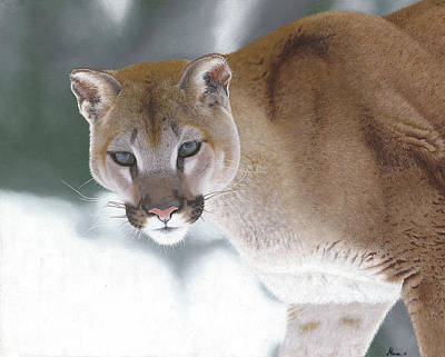 Puma In The Snow Art Print by Alina Kaplanov