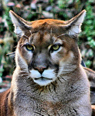 Large Cats Photograph - Puma by Kristin Elmquist