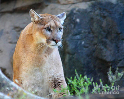 Puma On The Watch Art Print