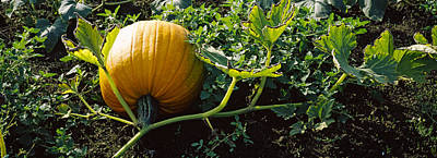 Half Moon Bay Photograph - Pumpkin Growing In A Field, Half Moon by Panoramic Images
