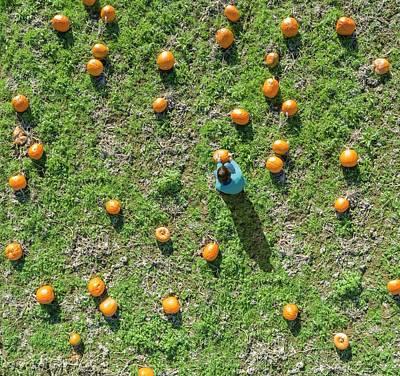 Maxima Wall Art - Photograph - Pumpkin Harvest by David Parker/science Photo Library