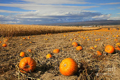 Cornfield Photograph - Pumpkin Harvest by Mike  Dawson