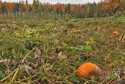 Squash Photograph - Pumpkin Patch At Burtts Apple Orchard by Charles Kozierok
