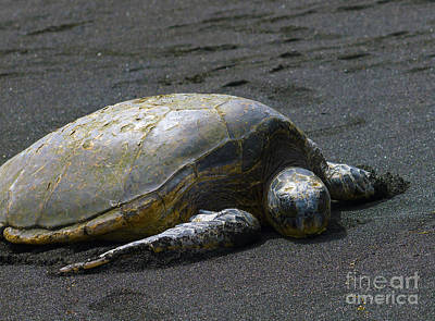 Photograph - Punaluu Turtle by Patricia Griffin Brett