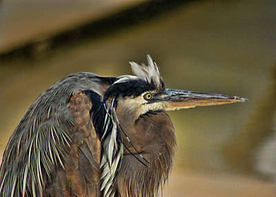 Photograph - Punk Heron by Barry Cole