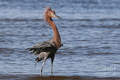 Photograph - Punked Out - Reddish Egret by Meg Rousher