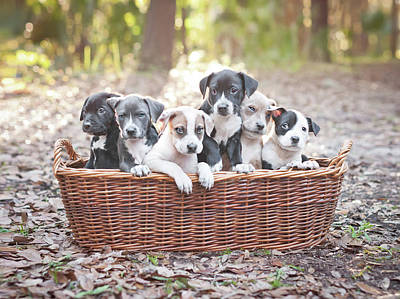 Photograph - Puppies In Wooden Basket by Hillary Kladke