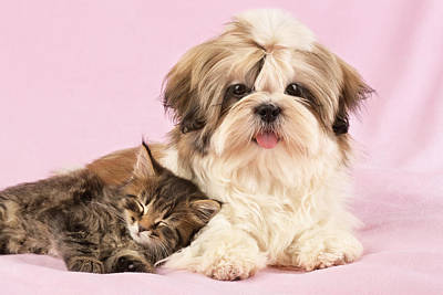 Shih Tzu Photograph - Puppy And Kitten by Greg Cuddiford