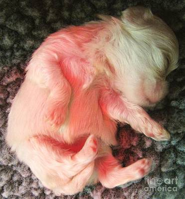 Maltese Puppy Photograph - Puppy Days by Margaret Newcomb