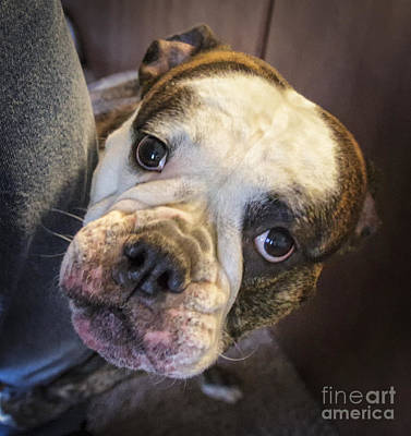 English Bull Dog Photograph - Puppy Dog Eyes by Mitch Johanson