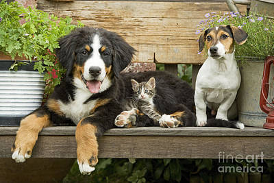 Bernese Mountain Dog Photograph - Puppy Dogs And Kitten by Jean-Michel Labat
