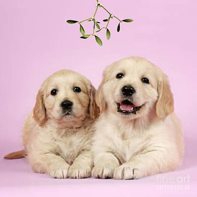 Puppy Dogs And Mistletoe Print by John Daniels/Duncan Usher