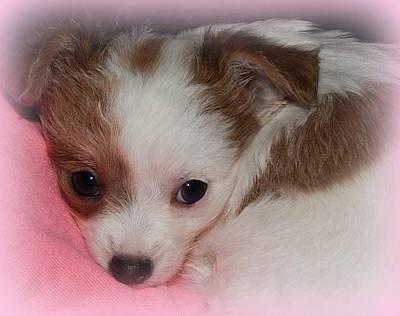 Chihuahua Digital Art - Puppy Face by Lynn Griffin