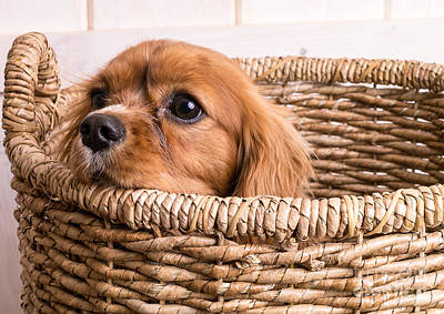 Puppy In A Laundry Basket Art Print by Edward Fielding