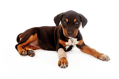 Rottweiler Photograph - Puppy Laying With Injury by Susan Schmitz