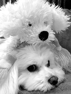 Toy Maltese Photograph - Puppy Puppy by Mary Beth Landis