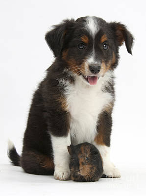 House Pet Photograph - Puppy With Guinea Pig by Mark Taylor