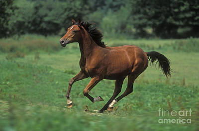 Blood Bay Horse Photograph - Pure Blood Arab, Galloping by Jean-Michel Labat