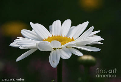 Photograph - Pure Daisy by Susan Herber