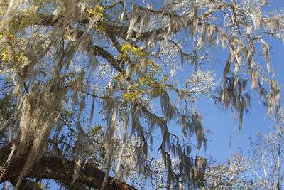 Epiphytic Photograph - Pure Florida - Spanish Moss by Christine Till
