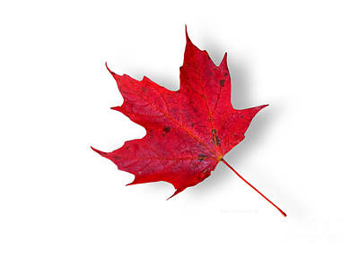 Photograph - Pure Maple Leaf Joy by John Stephens