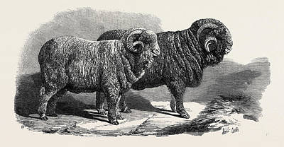 Ram Drawing - Pure Saxon Merino Rams Exhibited At Breslau 1869 by English School