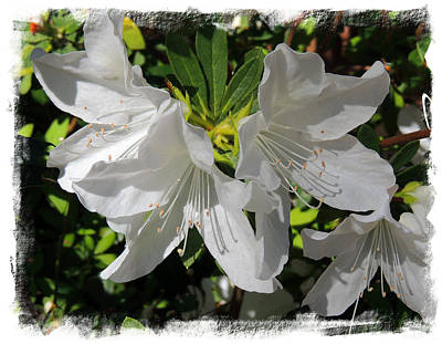 Panama City Beach Photograph - Pure White Azaleas by Teresa Schomig