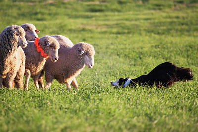 Herding Dog Photograph - Purebred Border Collie Challenging by Piperanne Worcester
