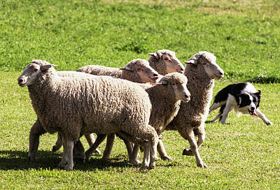 Herding Dog Photograph - Purebred Border Collie Turning Sheep by Piperanne Worcester