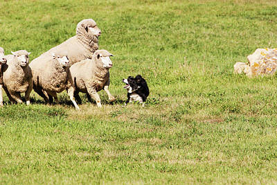 Purebred Border Collie Working Sheep Art Print