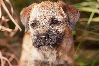 Purebred Border Terrier Art Print by Piperanne Worcester