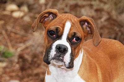Boxer Photograph - Purebred Boxer, Head And Back by Piperanne Worcester