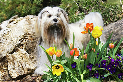 Purebred Lhasa Apso Standing In Spring Art Print by Piperanne Worcester
