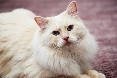 Doll Photograph - Purebred Rag Doll Cat, Flame Point by Piperanne Worcester